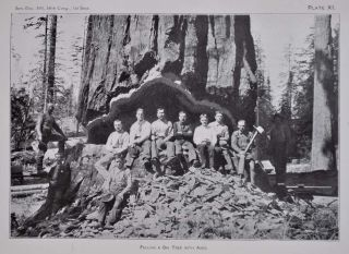 REPORT ON THE BIG TREES OF CALIFORNIA. Prepared in the Division of Forestry, U.S. Department of Agriculture